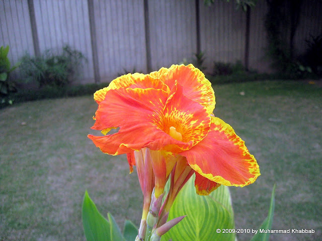 canna indica lily indian shot