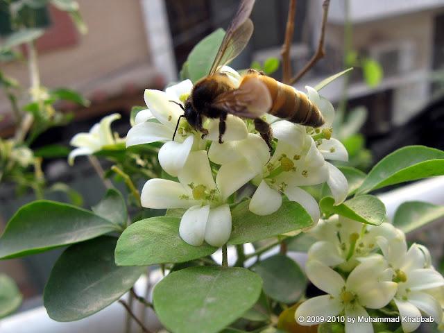 bee on murraya flower