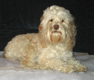 The Cockapoo results from deliberate crossbreeding.