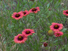 Indian Blanket - All Red