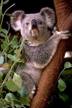 Sevimli koalalar