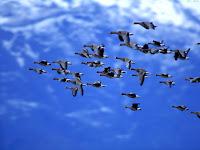 Patos migrando