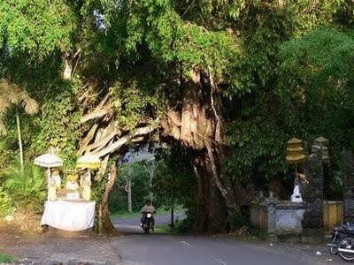 Bunut Bolong, old tree in Bali, Hindu Bali, Balinese way to prevent global warming, stop global warming tips