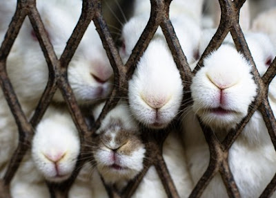 animal abuse bunny rabbit noses caged