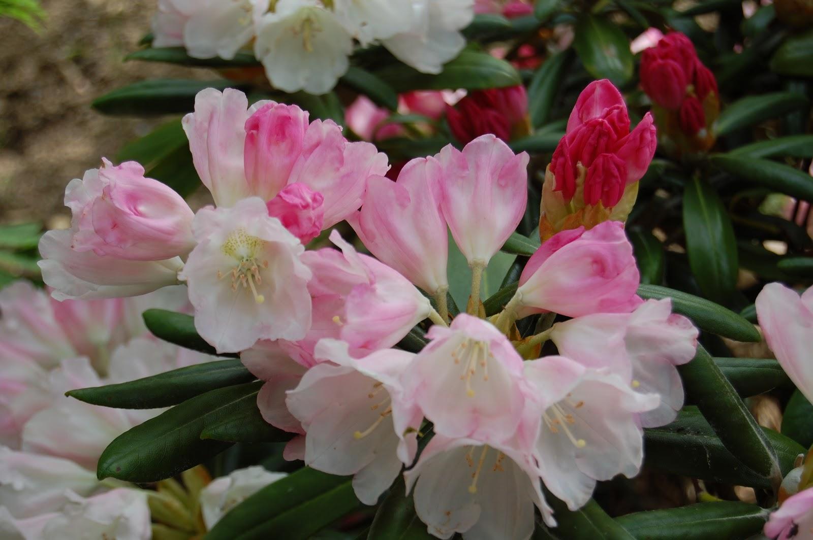 Arboretum adeline au fil des saisons - Rhododendron ne fleurit pas ...