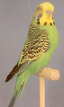 BUDGIE GRED A