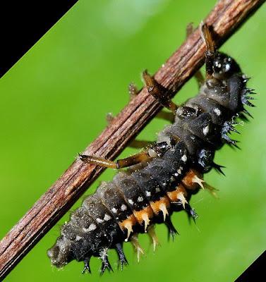 kate middleton gold digger prince william look alike. and larva alike – have