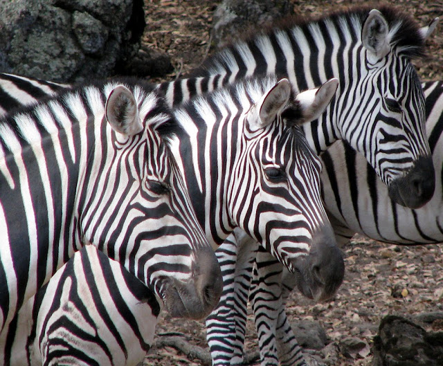 cool pics of zebras