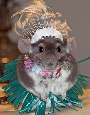 funny chinchilla pictures