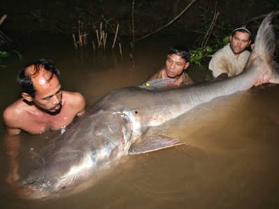 Biggest Mekong Giant Catfish