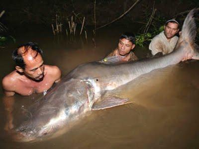 Biggest Catfish Ever Caught