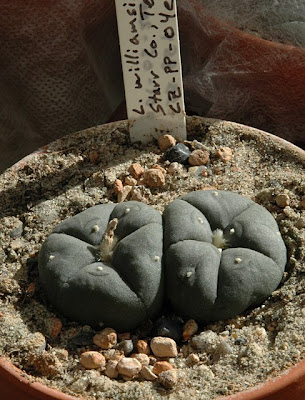Lophophora williamsii (SB 854; Starr Co, Texas), 2004