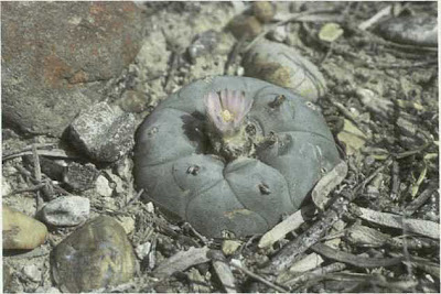 Fig. 1 - Peyote (Lophophora williamsii) in habitat on Las Islas Ranch, Starr County, Texas