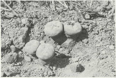 Fig. 10 - Soil removed to show that the tops arise from a large root system from which a top had been removed several years earlier