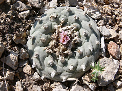 Lophophora williamsii, Shafter, Presidio County, Texas