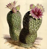 Curtis's Botanical Magazine – plate 6061 (vol. 99, 1873), Pelecyphora aselliformis