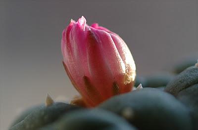 Spent Lophophora jourdaniana flower