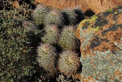 A cluster of Echinocereus reichenbachii var. albispinus