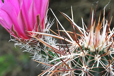 Echinocereus engelmannii v. armatus flower armed with spines
