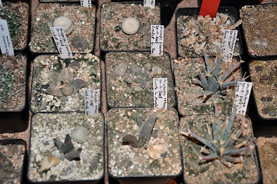 Surviving Ariocarpus, Epithelantha, and Leuchtenbergia plants