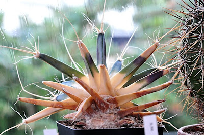 Frost killed Leuchtenbergia principis – outside the rain is weeping