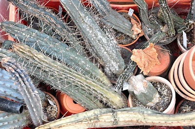 Decomposing Trichocereus plants
