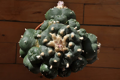 Lophophora williamsii graft, top view