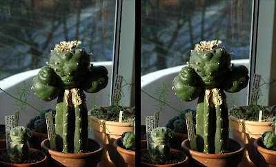 Cross-eyed image - Lophophora williamsii graft