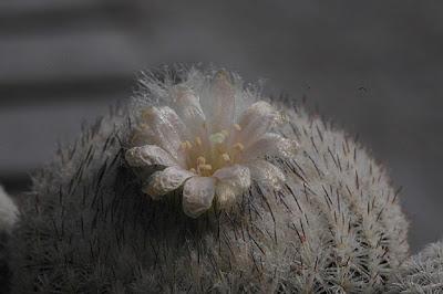 Flowering Epithelantha micromeris v. greggii