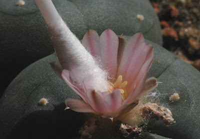 Lophophora williamsii pollinated with the help of a Q-tip