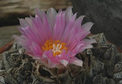 Ariocarpus fissuratus flower