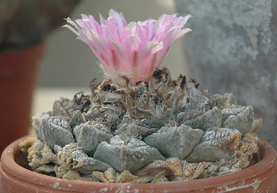 Flowering Ariocarpus fissuratus