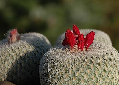 Epithelantha micromeris with dry fruits