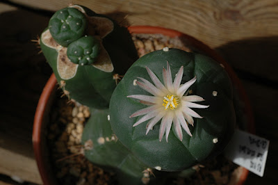 Flowering Lophophora koehresii grafted on Trichocereus pachanoi stock