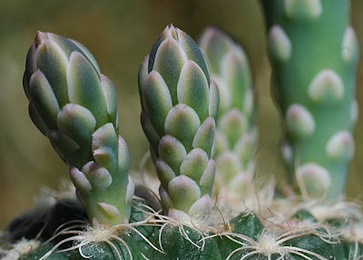 Gymnocalycium calochlorum flower buds; close-up