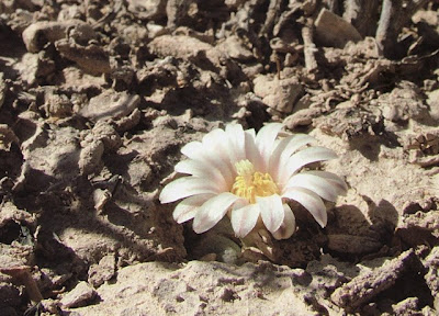 Flowering Lophophora alberto-vojtechii at the site in Zacatecas