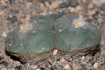 Close-up of three Lophophora williamsii crowns