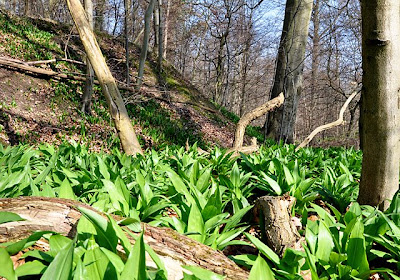 Ramsons covering the forest floor