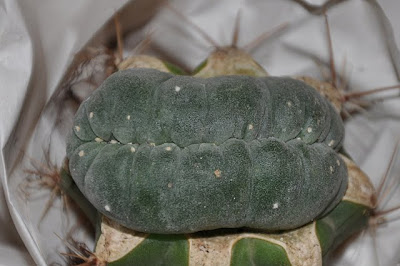 Lophophora williamsii f. cristata, top view