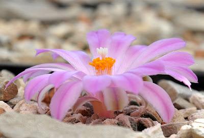 Flowering Ariocarpus kotschoubeyanus var. macdowellii