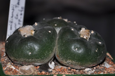 Frozen Lophophora williamsii (SB 854; Starr Co, Texas)