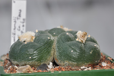 Thawed Lophophora williamsii (SB 854; Starr Co, Texas)