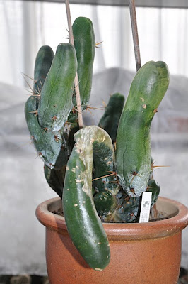 Frost damaged Penis Cactus