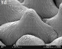 Lophophora fricii seed SEM image, detail of testa cells (enlarged x800)