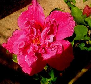 Hibiscus Vermelho dobrado (Orig. China)