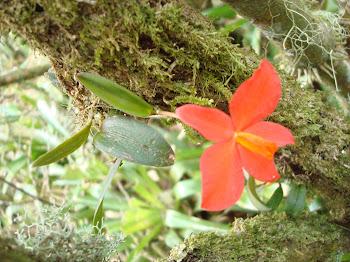 Orquídaceas