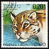 Serie gatos salvajes de Laos: felis viverrinus (347)