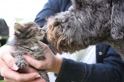 cães gatos cachorros beijo