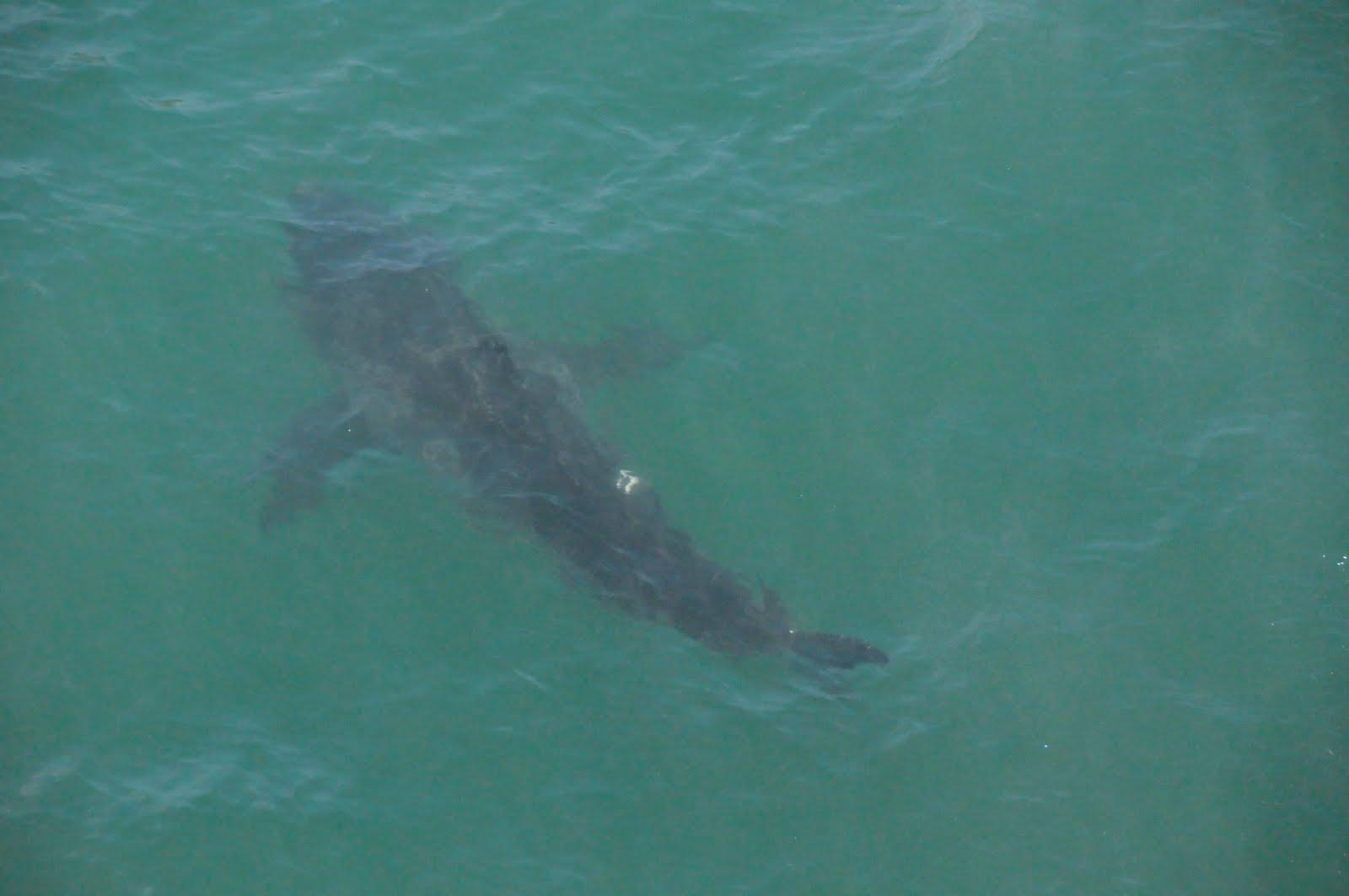 Shark eating helicopter