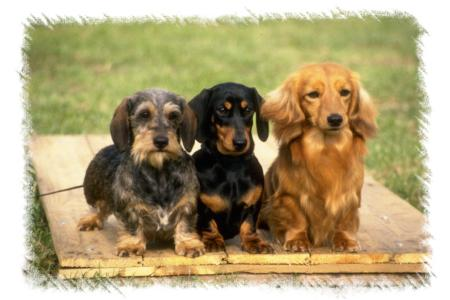 long haired dachshund photos. long-haired,